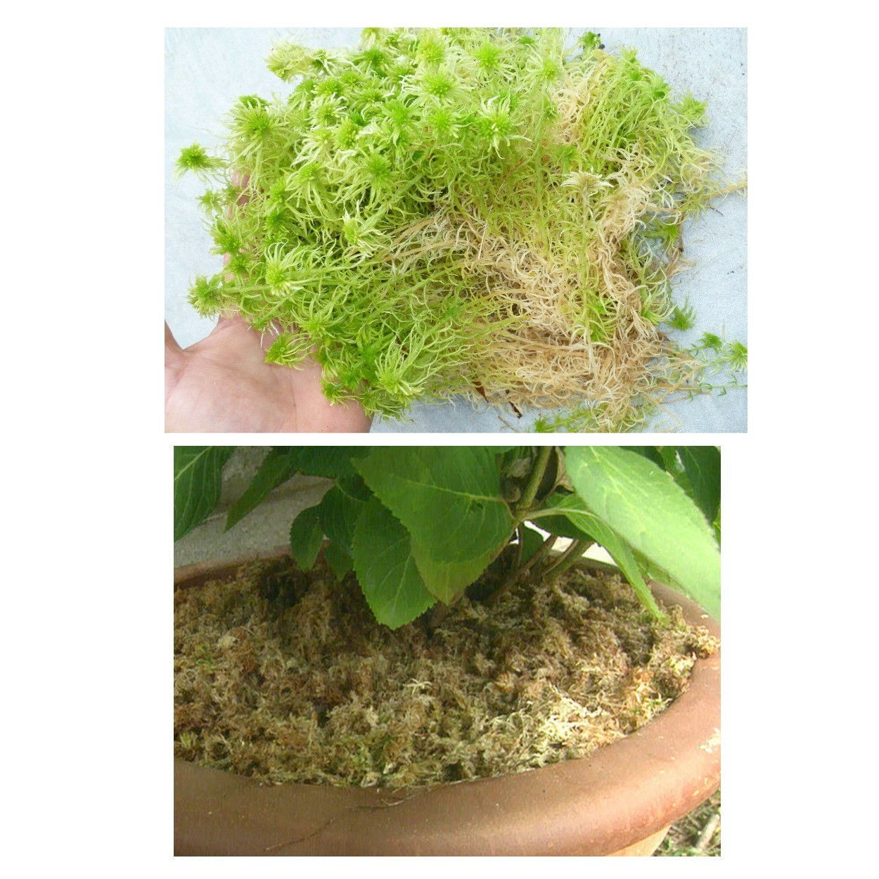 изображение мох сфагнум как дренаж для цветов