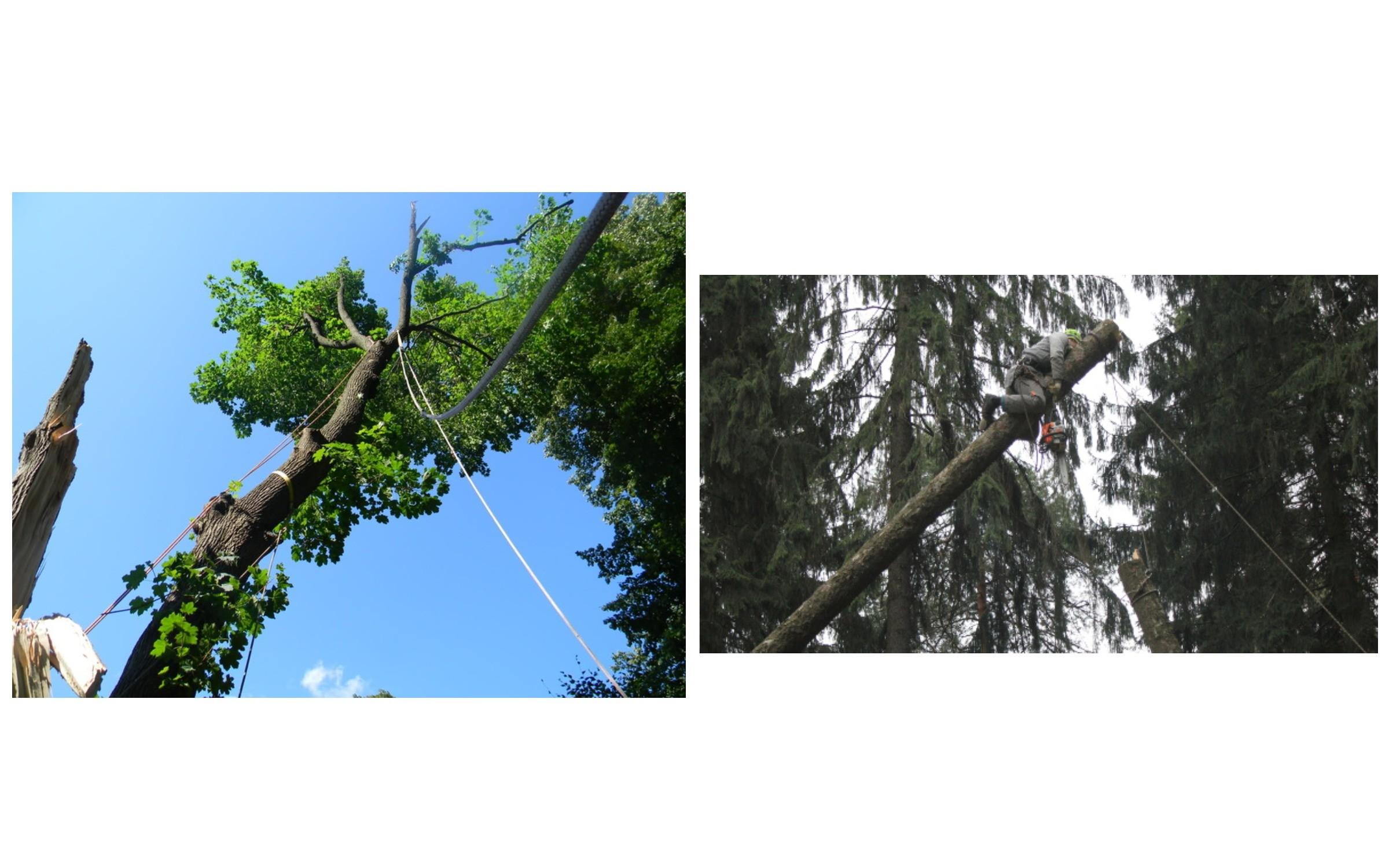 изображение валка дерева с оттяжкой