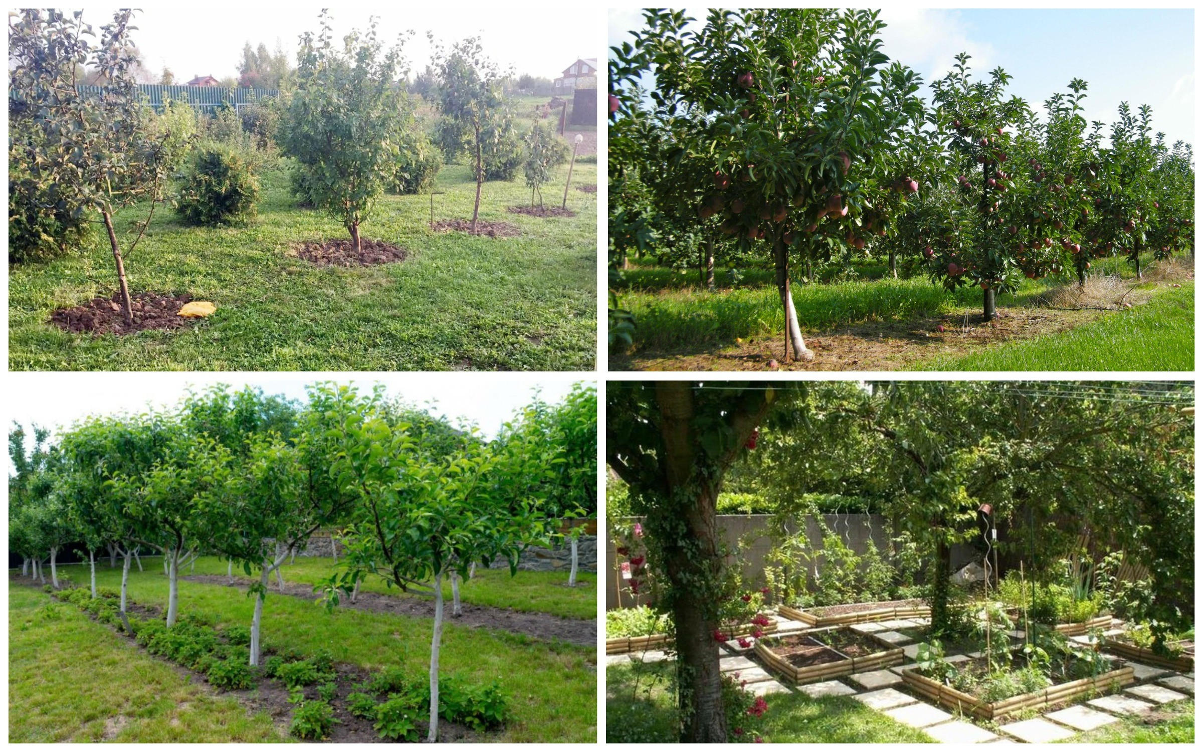 изображение расстояние между плодовыми деревьями
