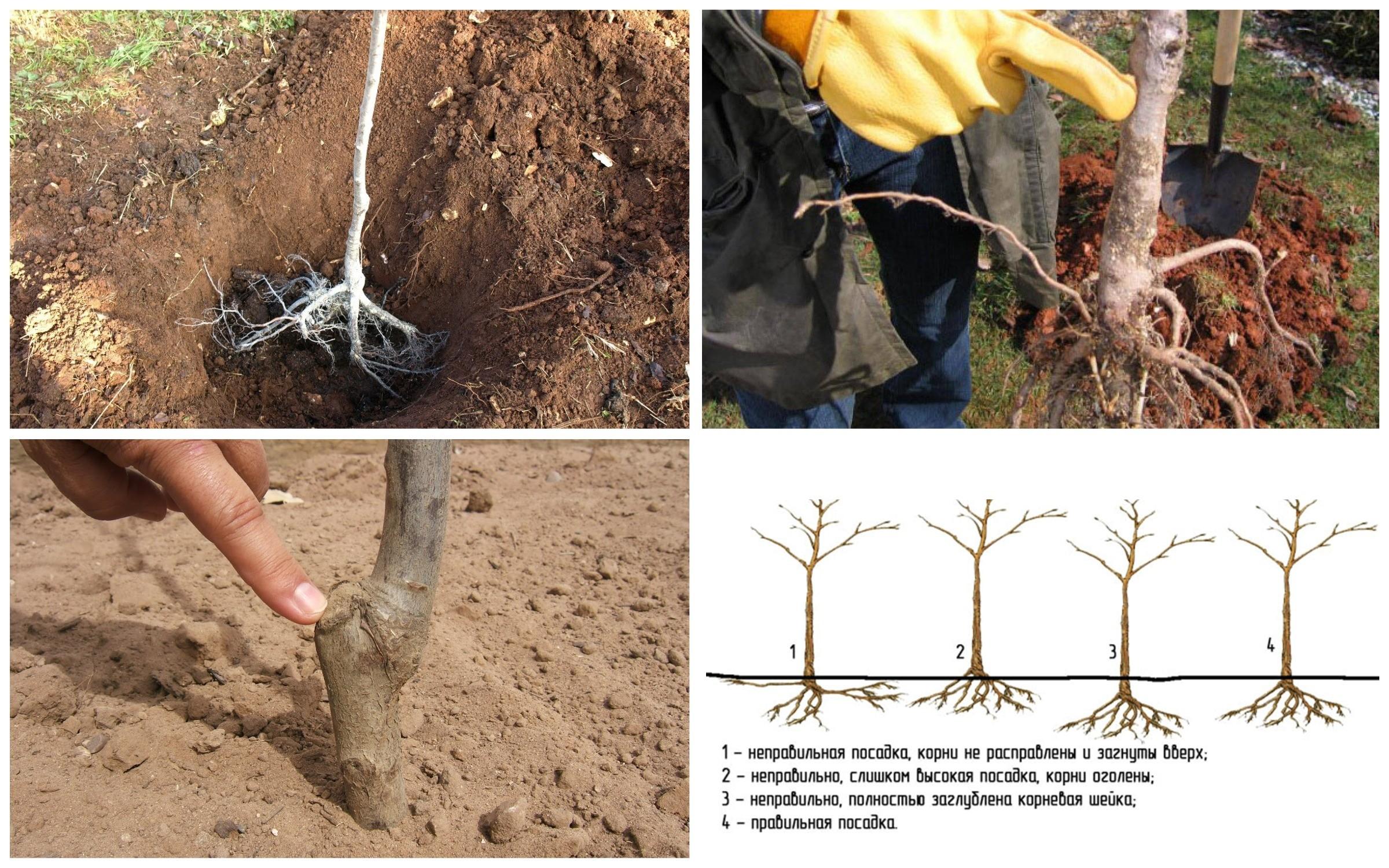 изображение правильная посадка корневой шейки и плодовых деревьев