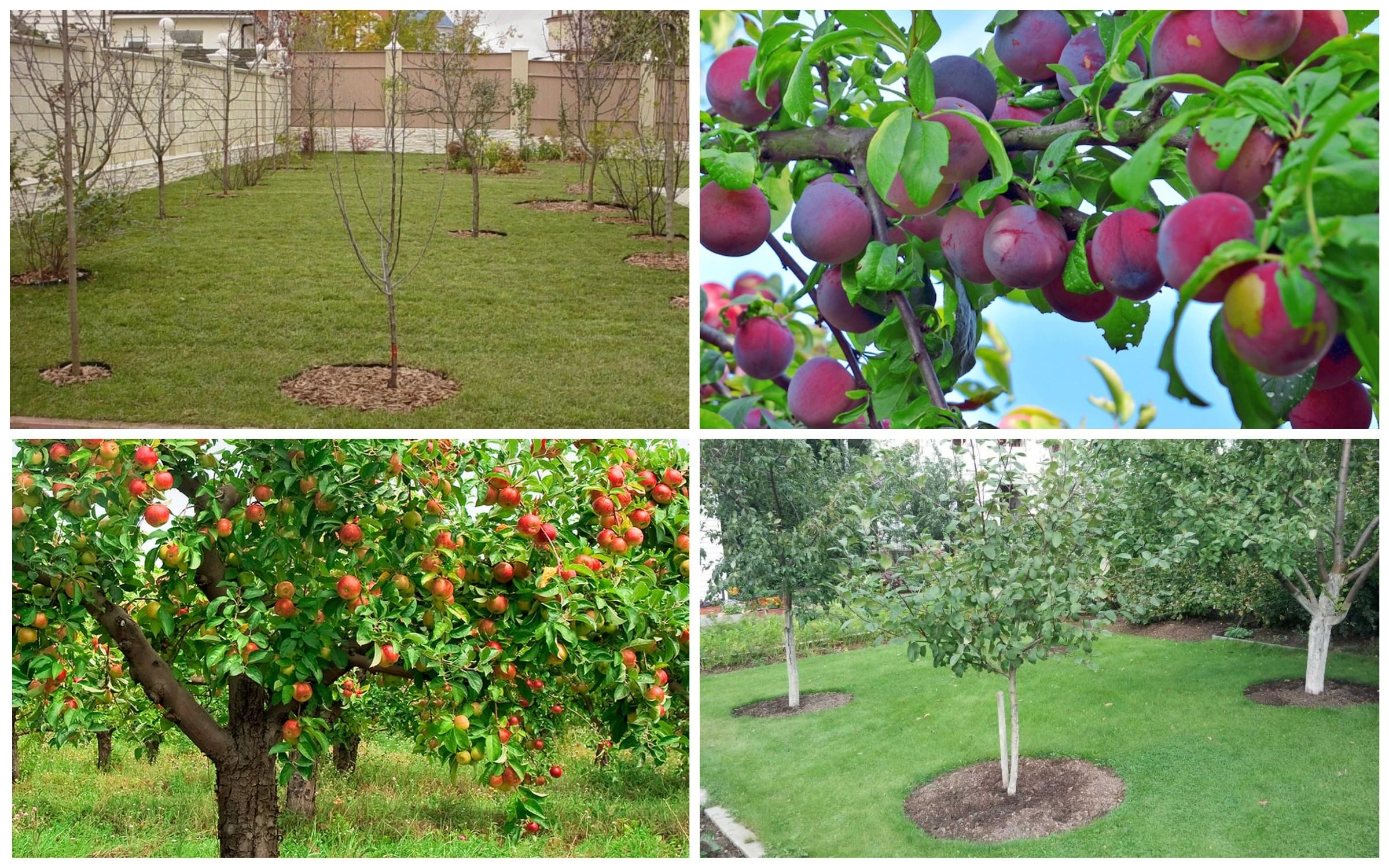 фото планирование посадки плодовых деревьев