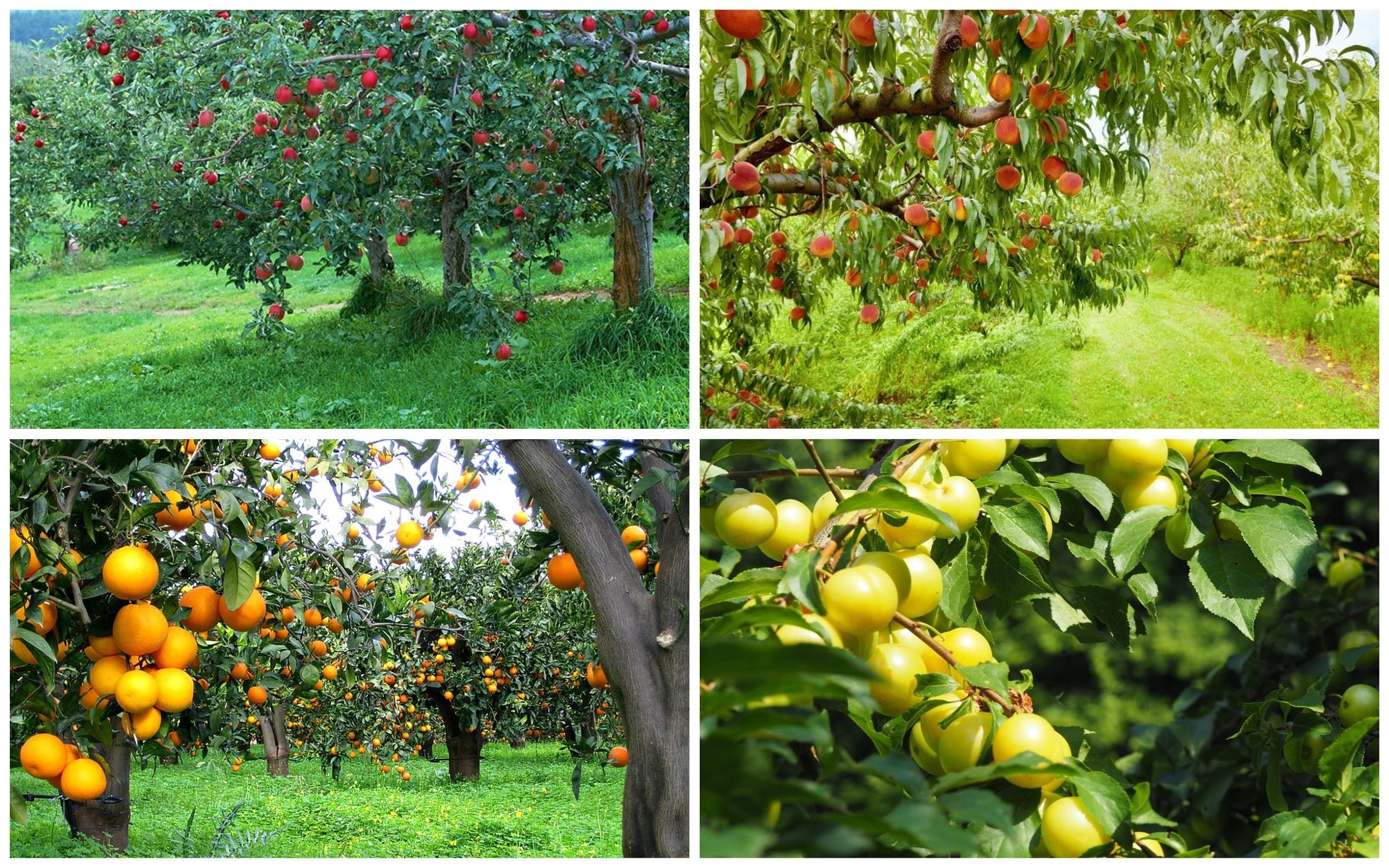 изображение плодовые деревья на участке