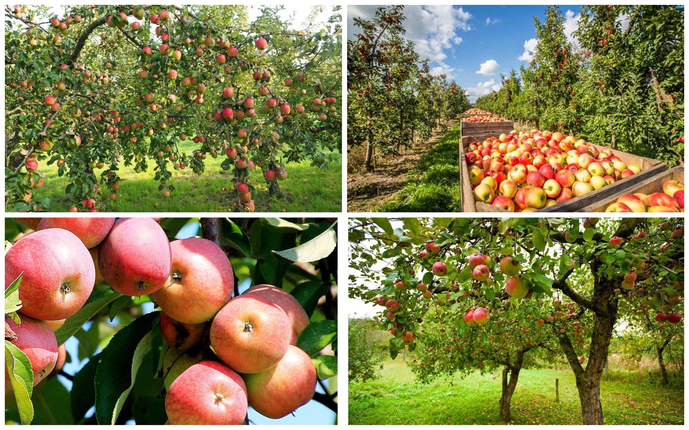 изображение яблони