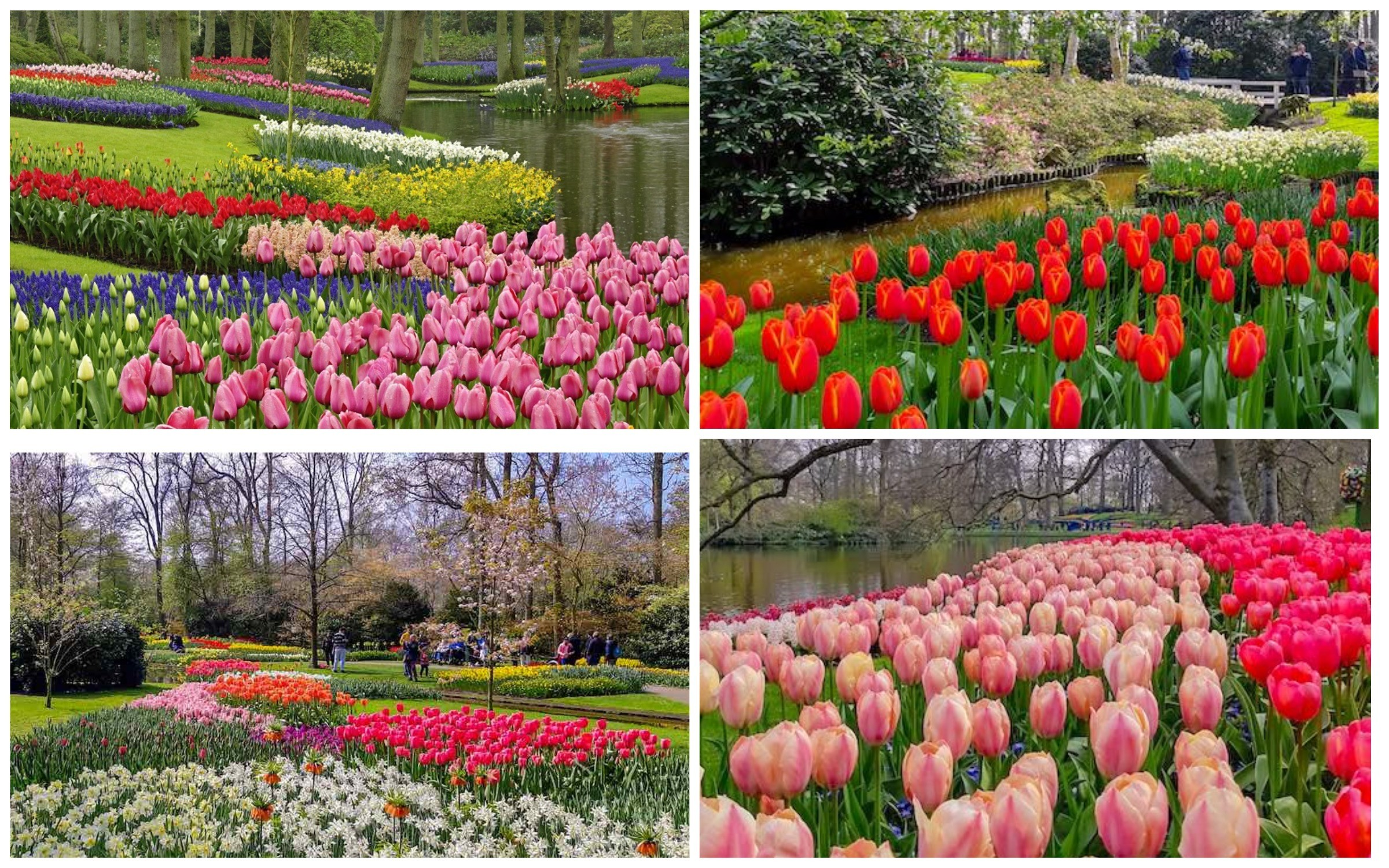 фото кёкенхоф тюльпаны