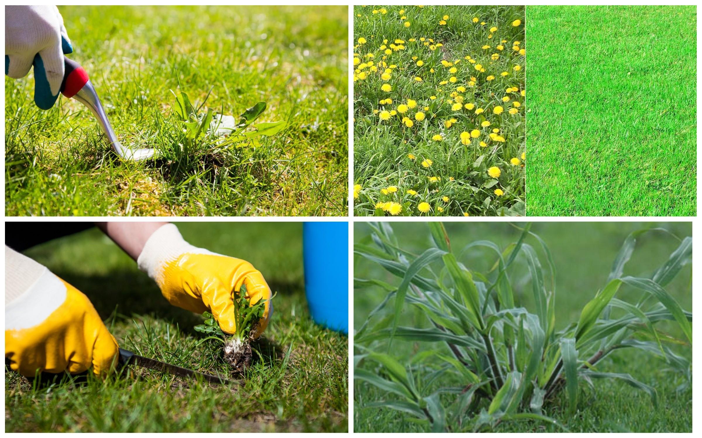 фото сорняки на газоне